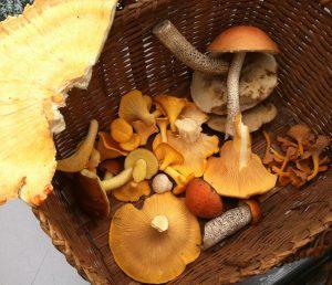 Minnesota mushroom foraging