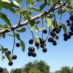 Foraging in Minnesota: Focus on Chokecherries