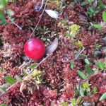 Foraging in Minnesota: Focus on Cranberries