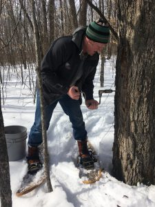 Tapping maple trees for syrup