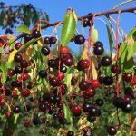 Foraging in Minnesota: Focus on Black Cherry