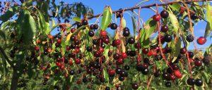 Minnesota black cherry
