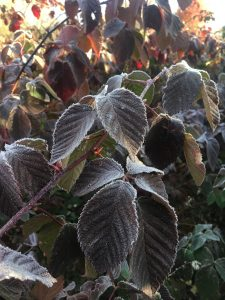 Rubus leaves with frost