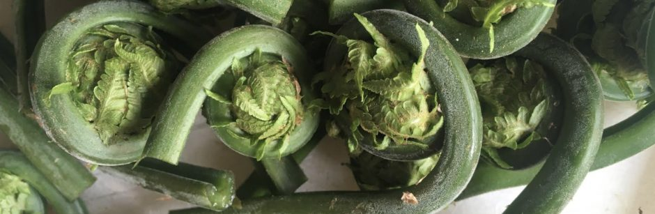 Foraging fiddleheads