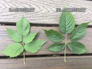 Rubus allegheniensis identification foraging