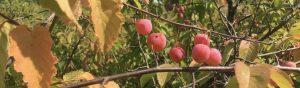 Wild plum foraging